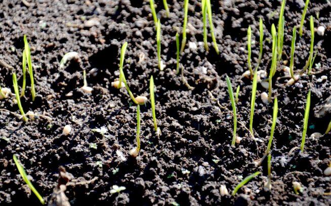 土壌と発芽。写真:金子 信博